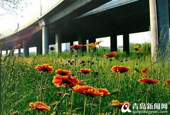 高清:青岛立交桥下隐世美景,漫山遍野小黄花