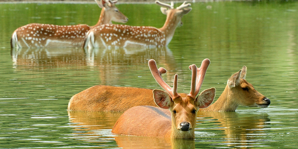 英国夏至日气温创新高 小鹿下水解暑