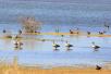 黑河湿地--鸟类栖息繁殖胜地