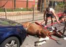马被车撞伤车主逃逸