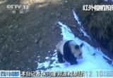 """探访""""大熊猫爱情走廊"""" 时隔6年再次拍到大熊猫活体"""