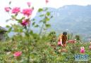 花卉産業助力脫貧