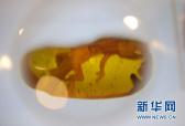 中美科学家发现最古老蛙类琥珀