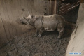 Nepali government to send rhinoceros to China as gifts