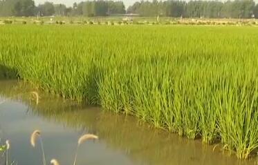 抗旱保生产 安徽合肥 农田缺水 提水灌溉保秧苗