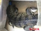 乡镇快餐店里竟卖鳄鱼 警方调查:没毛病