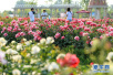 南陽月季園各項工程進展 月季種植完成80%