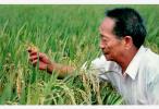"""袁隆平""""超级稻""""在南京试种成功 亩产能提高500斤"""