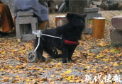 """小狗后腿残疾 装了""""双轮车""""后照样看门护院"""