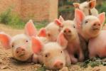 专家称三全回应关注函还在甩锅,非洲猪瘟病毒猪肉来源仍是谜