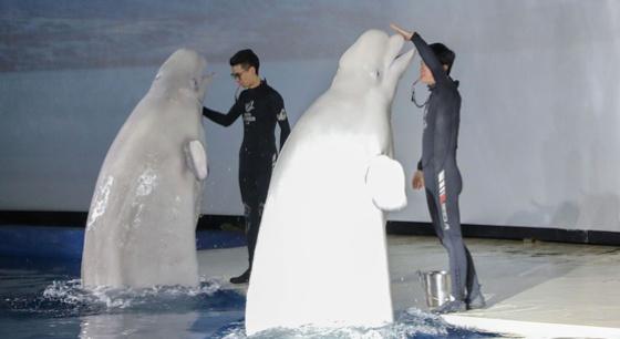 """""""白鲸姐妹花""""谢幕演出 将旅行9000公里回海洋"""