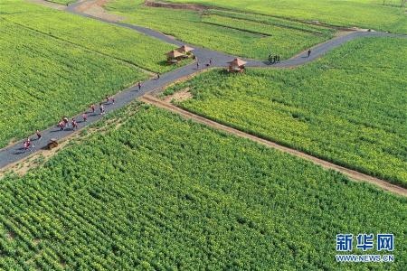 河北沙河:油菜花开 乐享春光
