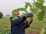 河南郏县:萝卜丰收富农家